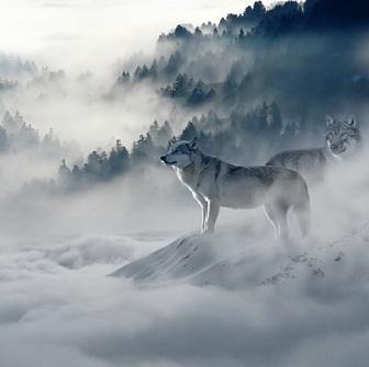wolf-1341881_640